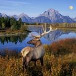 Bull Elk Standing on Banks of Snake River