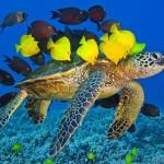 wat-sea-turtle-Big-Island-Hawaii